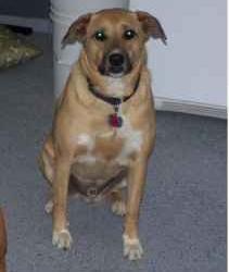 Lost dog in Chandler, AZ … Help find before Thanksgiving