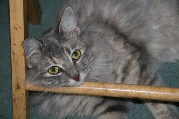 Missing cat in Chandler, AZ