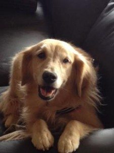 Help find a lost Service dog