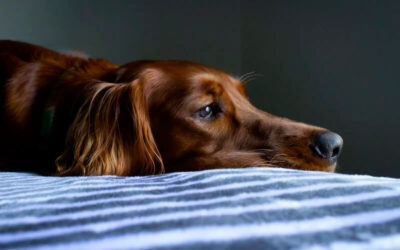 Heartworm in Dogs: How to Prevent It